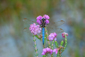 Keeled skimmer dragonfly (Orthetrum coerulescens) male resting on Erica flower, Leitrim Lodge, Mourne Mountains, Co. Down, Northern Ireland. July  -  Robert  Thompson