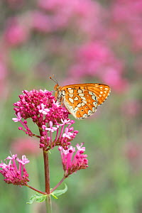 Marsh fritillary butterfly (Euphydryas aurinia ssp beckeri) on valerian flower, French Pyrenees, France. May - Robert  Thompson