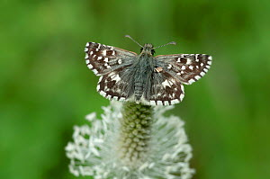 Oberthur's grizzled skipper (Pyrgus armoricanus) on plantain flower, South of Casteil, French Pyrenees, France. May - Robert  Thompson