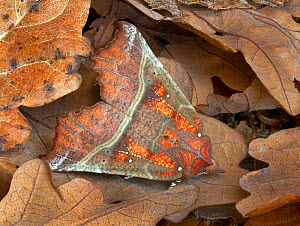 Herald moth (Scoliopteryx libatrix) camouflaged in leaf litter, Gosford Forest Park, Co. Armagh, Northern Ireland. September  -  Robert  Thompson