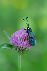 White-collared burnet moth (Zygaena lavandulae) French Pyrenees, France. May  -  Robert  Thompson
