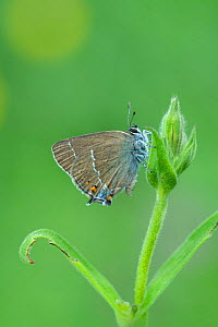 Blue-spot hairstreak butterfly (Satyrium spini) South of Casteil, French Pyrenees, France. May - Robert  Thompson