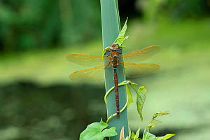 Brown hawker dragonfly (Aeshna grandis) male, Brackagh Moss NNR, Portadown, Co. Armagh, Northern Ireland. July. Small repro only.  -  Robert  Thompson
