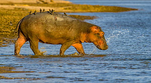 Hippopotamus (Hippopotamus amphibius) with Red-bellied oxpeckers (Buphagus erythrorhynchus) on back, entering water in the Luangwa River, Luangwa National Park, Zambia  -  Klein & Hubert