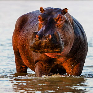 Hippopotamus (Hippopotamus amphibius) standing in water the Luangwa River at sunrise, Luangwa National Park, Zambia  -  Klein & Hubert