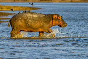 Hippopotamus (Hippopotamus amphibius) with Red-billed oxpeckers (Buphagus erythrorhynchus) taking off from back, entering water in the Luangwa River, Luangwa National Park, Zambia  -  Klein & Hubert