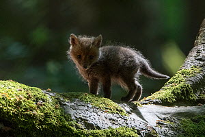 Red fox (Vulpes vulpes) cub, Vosges, France, May.  -  Fabrice  Cahez