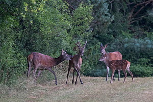 Red deer (Cervus elaphus) stag with antlers in velvet, females and fawn, Vosges, France, September. - Fabrice  Cahez