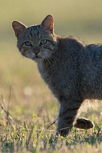 Wild cat (Felis silvestris) walking, Vosges, France, June. - Fabrice  Cahez
