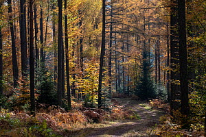 Path through Larch forest in autumn, Vosges, France, November. - Fabrice  Cahez