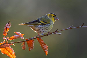 Eurasian siskin (Spinus spinus) male on tree in autumn, Vosges, France, March.  -  Fabrice  Cahez