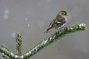 Eurasian siskin (Spinus spinus) female perched on snowy conifer, Vosges, France, March.  -  Fabrice  Cahez