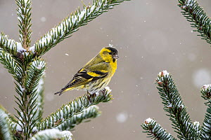 Eurasian siskin (Spinus spinus) male perched on snowy conifer, Vosges, France, March.  -  Fabrice  Cahez