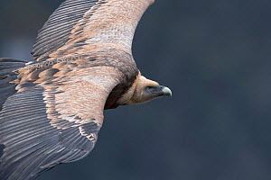 Griffon vulture (Gyps fulvus) in flight, Cevennes National Park, France, March. - Fabrice  Cahez