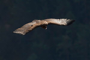 Cinereous vulture (Aegypius monachus) in flight, Cevennes National Park, France, March. - Fabrice  Cahez