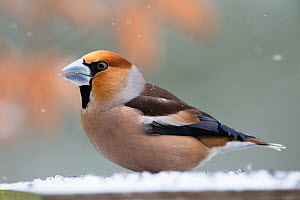 Hawfinch (Coccothrauste coccothraustes) in snow, Vosges, France, March.  -  Fabrice  Cahez