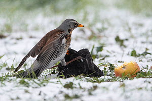 Fieldfare (Turdus pilaris) fighting with blackbird (Turdus merula) over apple in winter, Vosges, France, March.  -  Fabrice  Cahez