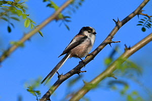 Long-talled tit (Aegithalos caudatus) perched, Vosges, France, April. - Fabrice  Cahez