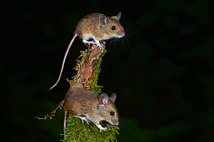 Wood mice (Apodemus sylvaticus) climbing on mossy branch. Dorset, UK October.  -  Colin Varndell