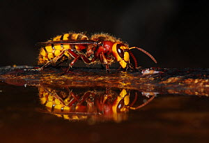 Hornet (Vespa crabro) drinking at bird bath. Dorset, UK, July. - Colin Varndell