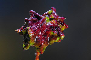 Knopper gall of the gall wasp (Andricus quercuscalicis) Dorset, England, UK, September. - Colin Varndell