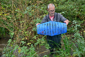 Richard Spyvee inspects a baited trap that has caught many White-clawed crayfish (Austropotamobius pallipes) under license in a well stocked stream for translocation of healthy Crayfish to an ARK site...  -  Nick Upton