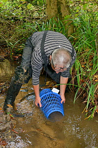Richard Spyvee lifting a baited trap set for White-clawed crayfish (Austropotamobius pallipes) under license in a well stocked stream for translocation of healthy Crayfish to an ARK site, safe from Si... - Nick Upton