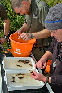 GWT team processing White-clawed crayfish (Austropotamobius pallipes) in a well-stocked stream to check their size, sex and health ahead of translocation to an ARK site, safe from Signal crayfish (Pac... - Nick Upton