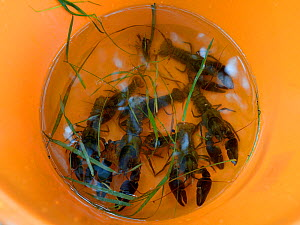 White-clawed crayfish (Austropotamobius pallipes) collected from a well-stocked stream in a bucket ready for release at an ARK site, safe from Signal crayfish (Pacifastacus leniusculus) and Crayfish p... - Nick Upton