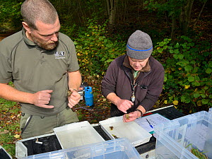 John Field and a GWT volunteer inspecting White-clawed crayfish (Austropotamobius pallipes) caught in a well-stocked stream to check their size, sex and health ahead of translocation to an ARK site, s... - Nick Upton