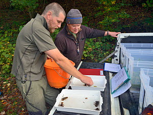 John Field placing White-clawed crayfish (Austropotamobius pallipes) in an inspection tray for sexing and health checks ahead of translocation to an ARK site, safe from Signal crayfish (Pacifastacus l...  -  Nick Upton