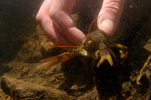 White-clawed crayfish (Austropotamobius pallipes) collected from a well-stocked stream being released at an ARK site stream, safe from Signal crayfish (Pacifastacus leniusculus) and Crayfish plague, E...  -  Nick Upton