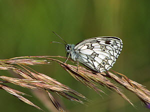 Marbled white butterfy (Melanargia galathea) resting on grass flowers in a chalk grassland meadow, Wiltshire, UK, July. - Nick Upton