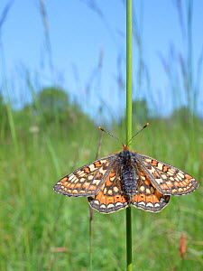 Marsh fritillary butterfly (Euphydryas aurinia) sunning on grass stem in a chalk grassland meadow, Wiltshire, UK, May. - Nick Upton