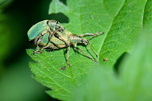 Green nettle weevils (Phyllobius pomaceus) mating on a Common nettle (Urtica dioica) leaf, Wiltshire, UK, May. - Nick Upton