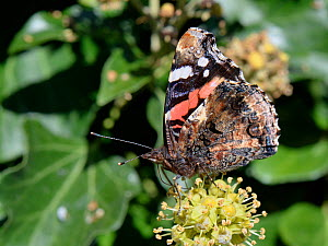 Red Admiral butterfly (Vanessa atalanta) nectaring on Ivy flowers (Hedera helix) in a garden, Wiltshire, UK, October.  -  Nick Upton