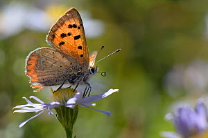 Small copper butterfly (Lycaena phlaeas) standing on an Aster flower in a meadow, Bath and northeast Somerset, UK, September.  -  Nick Upton