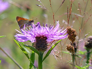 Small skipper butterfly (Thymelicus sylvestris) nectaring on a Greater knapweed flower (Centaurea scabiosa) in a meadow, Green Lane Wood, Wiltshire, UK, July. - Nick Upton