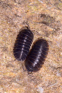 Two Southern pill woodlice (Armadillidium depressum) on an old garden wall at night, Wiltshire, UK, September. - Nick Upton