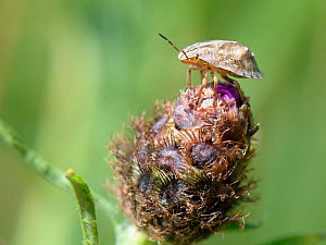 Tortoise bug (Eurygaster testudinaria) final instar nymph on a Knapweed flower bud, Green Lane Wood, Wiltshire, UK, July. - Nick Upton