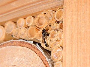 Wood borer wasp (Trypoxylon sp.) at the entrance to its nest in a Bamboo tube in an insect hotel, Wiltshire, UK, July.  -  Nick Upton