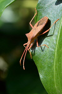 Box bug (Gonocerus acuteangulatus) on Ivy leaves in a garden, Wiltshire, UK, September. This nationally endangered bug is spreading northwest from its former toehold in southeast UK, originally on Box... - Nick Upton