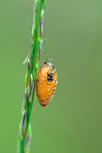 Basket cocoon parasitoid (Meteorus sp.) cocoon hanging from a grass stem in boggy heathland, Studland, Dorset, UK, July. - Nick Upton