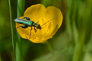 Male Thick-legged / Swollen-thighed flower beetle (Oedemera nobilis) feeding on nectar and pollen on a Meadow buttercup (Ranunculus acris) flower, England, UK. May.  -  Nick Upton