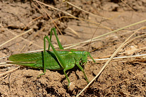 Great green bush-cricket (Tettigonia viridissima) on roadside verge, Corfe Castle, Dorset, UK, July.  -  Nick Upton