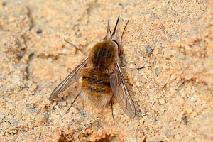 Heath bee fly (Bombylius minor), sunning on an sandy bank, Arne heath, Dorset, UK, July.  -  Nick Upton