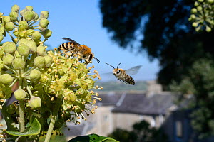Ivy bee (Colletes hederae) feeding on Ivy flowers (Hedera helix) as another flies in, Wiltshire garden, UK, September.  -  Nick Upton