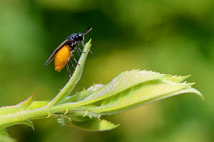 Large rose sawfly (Arge pagana) preparing to lay eggs on a Rose bush in a garden, Wiltshire, UK, July.  -  Nick Upton