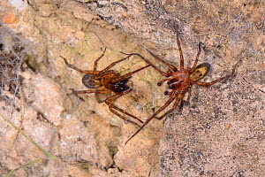 Common lace weaver / Lace-webbed spider (Amaurobius similis) male approaching a female close to her retreat in an old stone wall, vibrating her web at intervals to court her, Wiltshire, UK, October. - Nick Upton