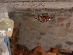 Noble false widow spider (Steatoda nobilis) female, Britain's most poisonous spider which probably reached the UK in cargo ships from the Canary islands, hanging in her web in a garden wood shed,...  -  Nick Upton
